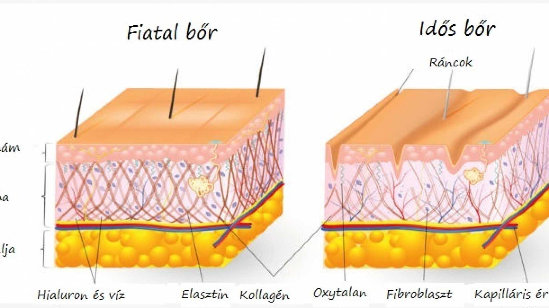 A kollagén hatása-fiatal marad a bőr<br>Idős és fiatal bőr összehasonlítása: a kollagén peptid mennyisége a döntő